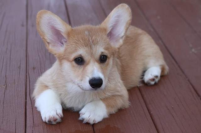 guide to dog breeds with pictures