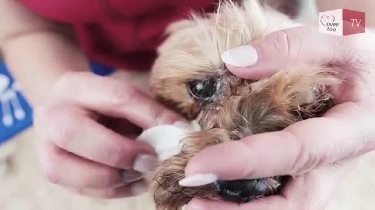 royal canin shih tzu feeding guide